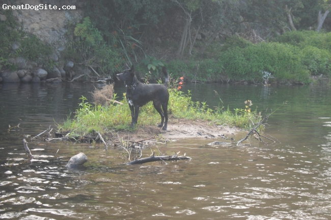 Border-Aussie, 1yr, black, beautifull natured dog, kelpie/lab cross.. just found out that summer swimming is a nice activitie
