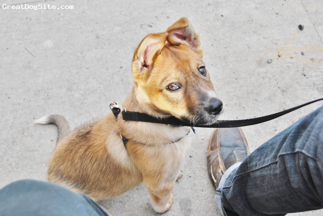 Border-Aussie, 3 months, red, Australian cattle dog and Border Collie mix. He's amazing, intelligent and well behaved.