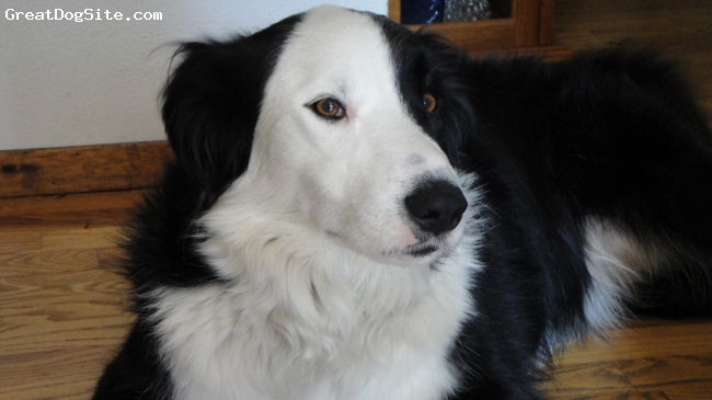 Border-Aussie, 3, black and white, He is so loving with endless energy!