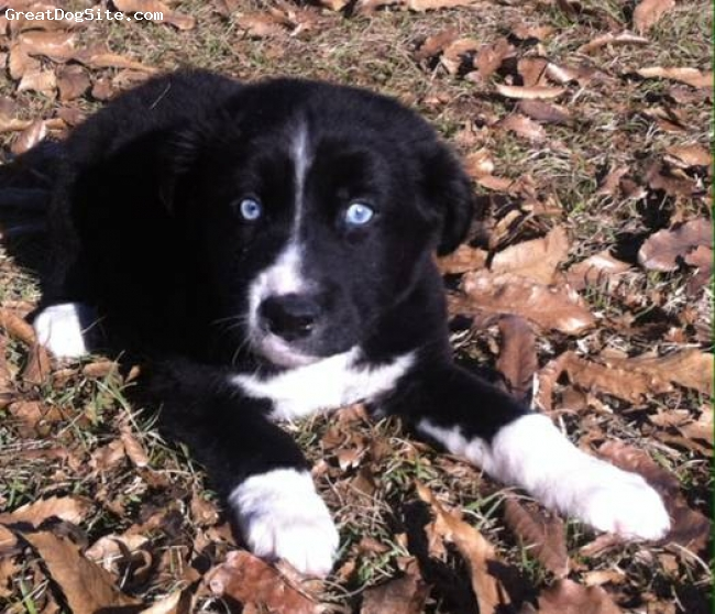 Border-Aussie, 14 weeks, Tuxedo, Louie is our adorable border-aussie pup!