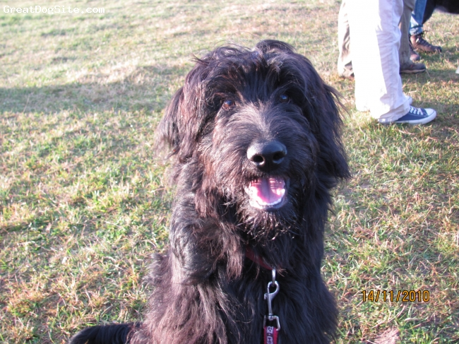 Bordoodle, 6 months, black, He is a lovely very clinging dog. At home he is realy quite and easy, till you say his name then he wanted to play or to learn something. Outside he is very sportive. He has a looker and he do now this.