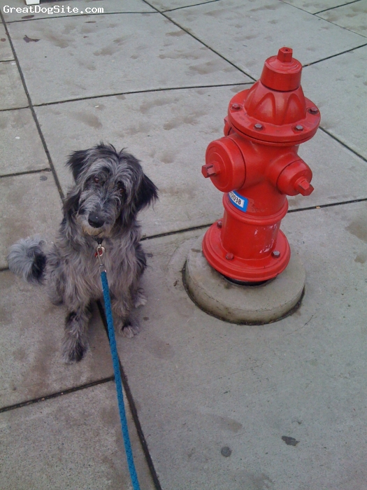 Bordoodle, 18 mo., blue merle, Mother is a blue merle border collie,  Father is a white standard poodle. She was the runt and very timid but with lots of love and confidence training she has become very well behaved little angel.