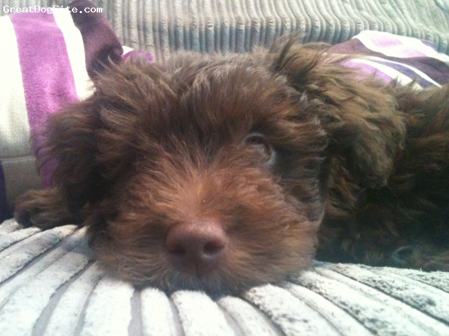 Bordoodle, 11 weeks, Brown with white blaze, Bear's Mum is a beautiful border collie and his Dad, a miniature poodle. We could no be happier with him. He is clever, funny and gives loads of love..... he also steals hearts!!!