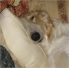 Borzoi, 4 Years, White and Gold