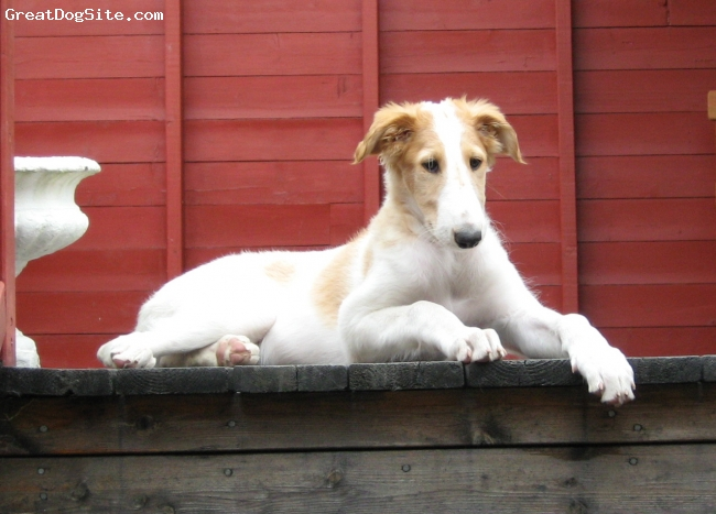Borzoi, 8 weeks, white with red markings, Borzoipuppy, relaxing at top of stairs...