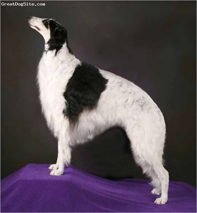 Borzoi, 4 Years, Tri, This is Cooper - BISS CH Sedona Cloud Dancer.  Cooper was the #1 Breeder Owner Handled Borzoi for 2007 and has held top ranking in the US for over 2 years!    Learn more about him and his brothers and sisters at our SEDONA BORZOI website -
