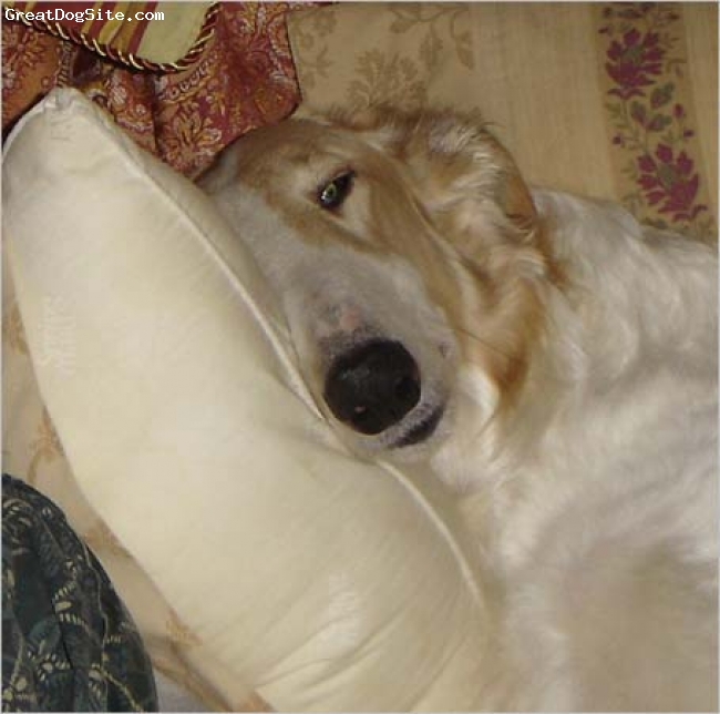 "Borzoi, 4 Years, White and Gold, This is Briana or ""Princess Bri"" as she has commanded since birth.  She is in our bed with her head right next to her Dad.  To learn more about her and her siblings, visit our SEDONA BORZOI website at"