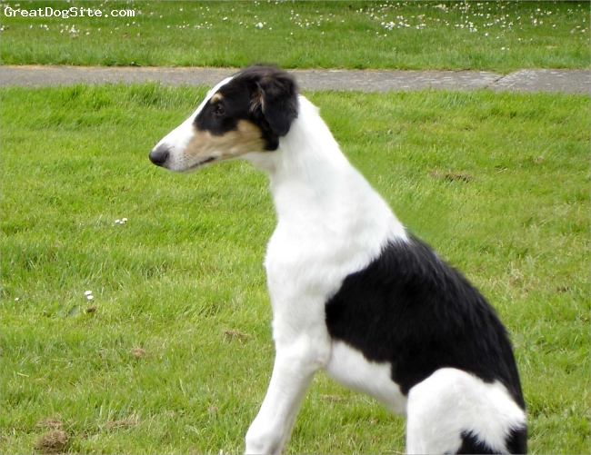 Borzoi, 7 months, Tri, This is Tristan looking afar after his trip from Arizona to Washington.  He could not believe how green it was here!  To learn more about him go to our SEDONA BORZOI website at