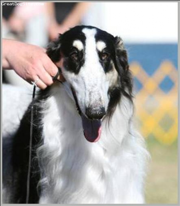 Borzoi, 4 Years, Tri, This is Cooper looking right at the camera in the show ring!  To learn more about him, go to our SEDONA BORZOI website at: