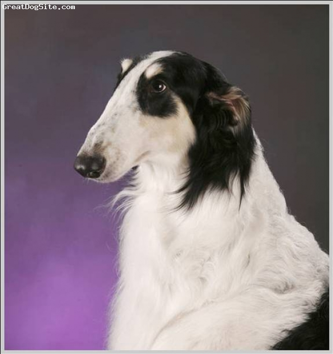 Borzoi, 4 Years, Tri, A beautiful portrait of our loving Cooper.  To see more pictures of him go to our SEDONA BORZOI website at