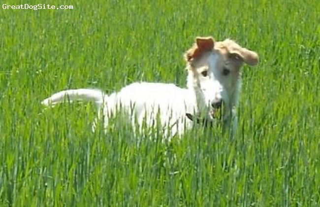 Borzoi, 4 months, Gold and White, Beautiful photo of our Borzoi puppy - Now stands 30 inches high at 61/2 months old