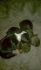 Bospin, 1 week old, 1- white/black, 2-brindle,3-brindle/white