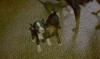 Bospin, 4 weeks old, #1-blk & wht, #2-Brindle, #3-brindle & wht