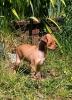 Bospin, 2.5 months, tan