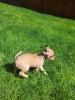 Bospin, 1.5  months, tan