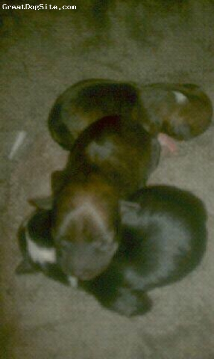 Bospin, 1 week old, 1- white/black, 2-brindle,3-brindle/white, picture # 3, bospin baby girls at 1 week old!