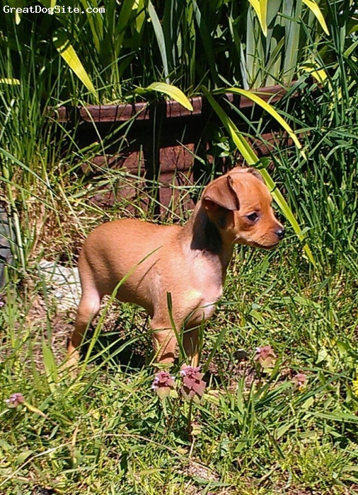 Bospin, 2.5 months, tan, first few days in her new yard