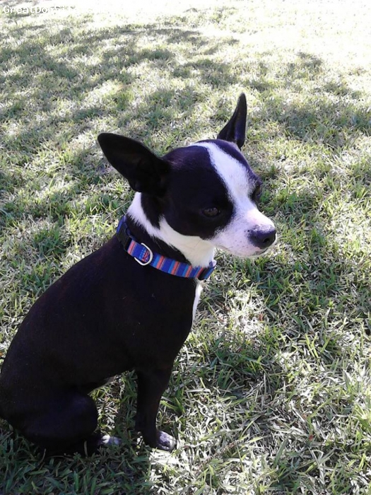 Bospin, 3 yrs, Black/white, The markins of Boston Terrier ...body shape off Min. Doberman Pincher....borned with a stub tail...and long pointed ears...