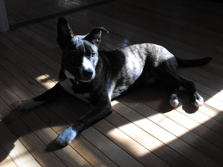 Boston Cattle Dog