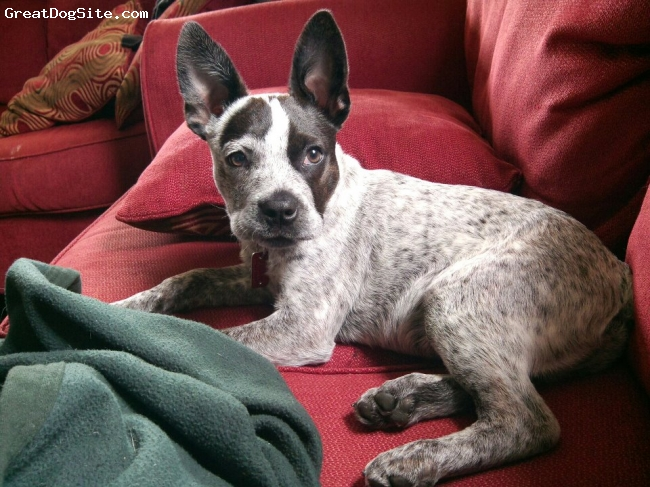 Boston Cattle Dog, 6 months, Grey, A 6 month old picture of Vinny, a Boston Cattle Dog.
