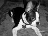 Boston Terrier, 4 months, black and white