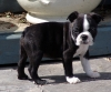 Boston Terrier, 7 weeks, black & white