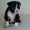 Boston Terrier, 6 weeks, Black and White