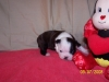 Boston Terrier, 4 wks., black/brindle/white