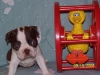 Boston Terrier, 5 wks., Red/White