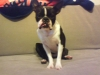Boston Terrier, 2years, Black/white
