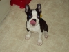 Boston Terrier, 3 mths, blk/wht