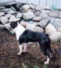 Boston Terrier, 2, SEAL, BRINDLE & WHITE