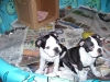 Boston Terrier, 10 weeks, black/white