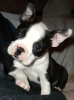 Boston Terrier, 9 wks, Black & White w/brindle markings