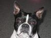 Boston Terrier, 5 YEARS, BLACK & WHITE