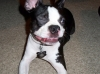 Boston Terrier, 1y 5m, Blk & Wht