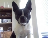 Boston Terrier, 2, BLACK & WHITE