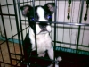 Boston Terrier, 4 mos., black / white