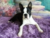 Boston Terrier, 7 months, Black & White