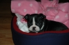 Boston Terrier, 2 months, brindle/wht