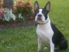 Boston Terrier, 1 year, Black & White