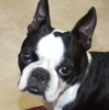 Boston Terrier, 3 years, Black & Whits