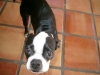Boston Terrier, 2, Black and White
