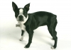 Boston Terrier, 6 months, black and white