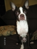 Boston Terrier, 6 months today, Red with White Markings