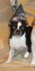 Boston Terrier, six years old, black and white