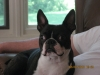 Boston Terrier, 3, Brindle