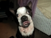 Boston Terrier, 4 years old, Black and white