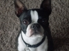 Boston Terrier, 3, Black/white
