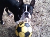 Boston Terrier, 4 and a half, black & white